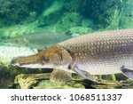 arapaima gigas  also known as... | Shutterstock . vector #1068511337