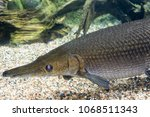 arapaima gigas  also known as... | Shutterstock . vector #1068511343