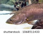 arapaima gigas  also known as... | Shutterstock . vector #1068511433