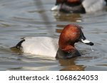 male common pochard  aythya... | Shutterstock . vector #1068624053