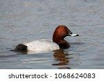 male common pochard  aythya... | Shutterstock . vector #1068624083