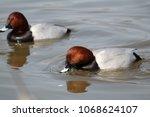 male common pochard  aythya... | Shutterstock . vector #1068624107