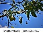 ceiba speciosa tree with... | Shutterstock . vector #1068680267