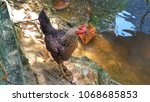 Small photo of A brown uncage hen beside a pond, sttolling freely while looking for food.
