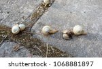 Small photo of small white snails creep along gray stone slabs in the garden, one snail is crushed, close-up