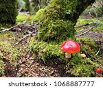 Small photo of Red tasmanian mushroom