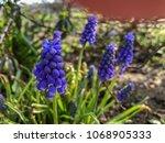 Small photo of Blue blooming hyacinths in a dooryard