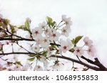 cherry blossom viewing | Shutterstock . vector #1068955853