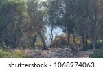 young olive trees on a small...   Shutterstock . vector #1068974063
