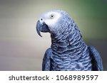 the grey parrot psittacus... | Shutterstock . vector #1068989597