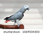 the grey parrot psittacus... | Shutterstock . vector #1069034303