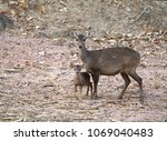 female and young hog deer  ...   Shutterstock . vector #1069040483