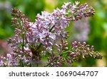 lilac. lilacs  syringa or...   Shutterstock . vector #1069044707