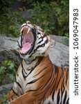 Small photo of Close up profile portrait of one Indochinese tiger yawning or roaring, mouth wide open and showing teeth, low angle view