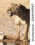 Large Lioness Standing Up Afte...