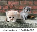 Stock photo new kittens are born from the semiflat face breed there is a beautiful and fluffy color on the 1069096007