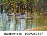 wood sandpiper on marsh  ...   Shutterstock . vector #1069283687