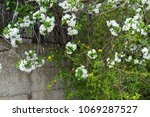 Blossomed Underbrush In The...