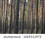 Small photo of Mysterious pine forest illuminated by the light of the setting sun. Beautiful colors, vertical rhythm of tree trunks, horizontal format.