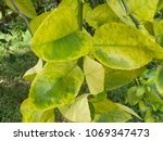 orange citrus trees orchard... | Shutterstock . vector #1069347473