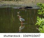 Hawaiian Stilt And An Ibis In...
