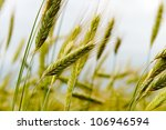 Cereal plants is growing on the field. - stock photo