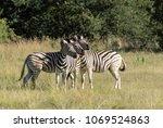 three zebra in a row  taking a...   Shutterstock . vector #1069524863