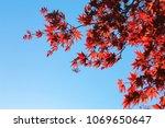 japanese red maple on blue sky... | Shutterstock . vector #1069650647