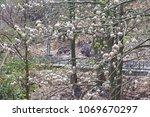 natural kapok trees  ceiba... | Shutterstock . vector #1069670297