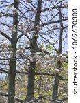 natural kapok trees  ceiba... | Shutterstock . vector #1069670303