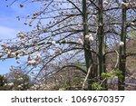 natural kapok trees  ceiba... | Shutterstock . vector #1069670357