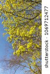 Small photo of Thriving Norway Maple, Acer platanoides, with yellow flowers against clear blue sky