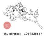 hand drawings magnolia flowers. ... | Shutterstock .eps vector #1069825667