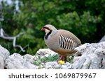 Small photo of Close up of the Rock partridge bird(Alectoris graeca).