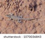 plateau fence lizard ... | Shutterstock . vector #1070036843