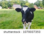 cow on a meadow with blue sky | Shutterstock . vector #1070037353