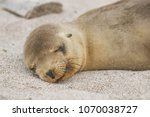 galapagos sea lion cub lying... | Shutterstock . vector #1070038727