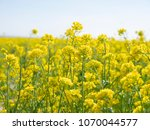 Small photo of canola field with canola flowers