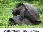 galapagos giant tortoises... | Shutterstock . vector #1070134067