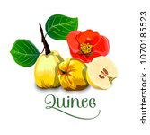 quince isolated image on white... | Shutterstock .eps vector #1070185523
