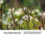 chamomile and common foxtail... | Shutterstock . vector #1070209187