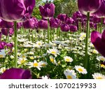 tulips and daisies in natural... | Shutterstock . vector #1070219933