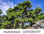 Small photo of Green pine, Adriatic coast, Croatia
