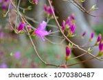 "light pink ""yamato tsuji"" which ... | Shutterstock . vector #1070380487"