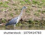 grey heron  ardea cinerea  in... | Shutterstock . vector #1070414783