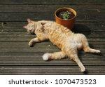 ginger cat lying on back on...   Shutterstock . vector #1070473523