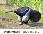 closeup of giant anteater ... | Shutterstock . vector #1070483117