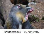 Colorful Mandrill Yawning ...