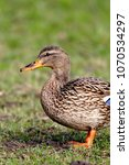 Small photo of Single female Mallard Duck bird on sandy wetlands during a spring nesting period