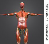 human muscular anatomy with...   Shutterstock . vector #1070545187